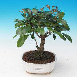 Pokojová bonsai - Eugenia unoflora - Australská třešeň