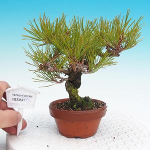 Pinus Densiflora - borovice červená