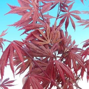 Venkovní bonsai-Acer palmatum Trompenburg-Javor červený