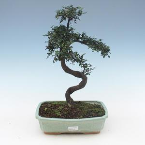 Pokojová bonsai-Ulmus Parvifolia-Malolistý jilm PB2191558