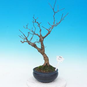 Venkovní bonsai - hortenzie