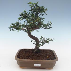 Pokojová bonsai-Ulmus Parvifolia-Malolistý jilm PB2191559