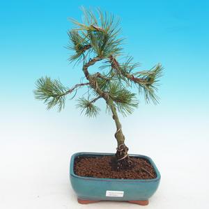 Vonkajší bonsai -Pinus parviflora-Borovica drobnokvetá