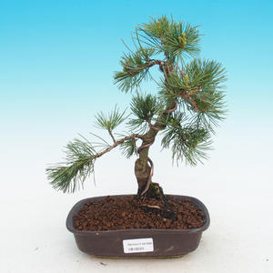 Venkovní bonsai -Pinus parviflora-Borovice drobnokvětá