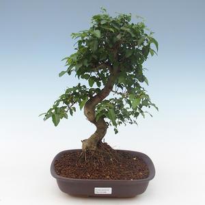 Pokojová bonsai - Ligustrum chinensis - Ptačí zob PB2191568