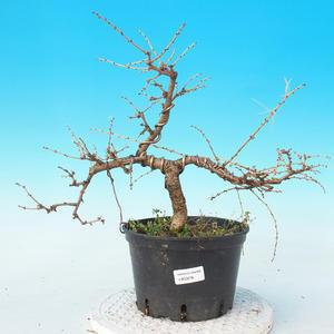 Vonkajší bonsai -Modřín opadavý-Larix decidua