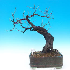 Vonkajšie bonsai -Mahalebka - Prunus mahaleb