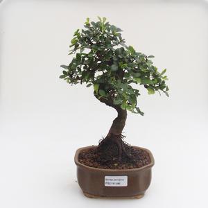 Pokojová bonsai - Ulmus parvifolia - Malolistý jilm PB2191586