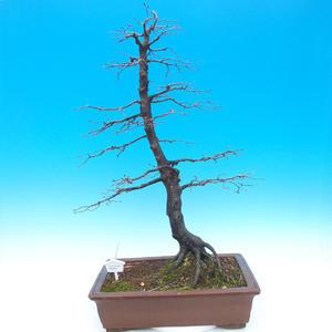 Venkovní bonsai -Habr obecný - Carpinus carpinoides