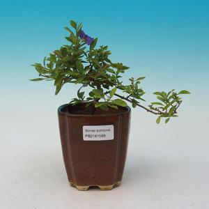 Izbová bonsai  - HORCOVÝ stromček-Solanum rantonnetii