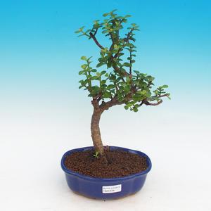 Izbová bonsai - Portulakaria Afra - Tlustice