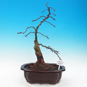 Vonkajšie bonsai - Tilia - Lipa trpasličí