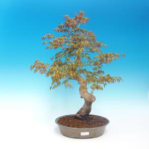 Venkovní bonsai - Acer pamnatum -Javor dlanitolistý