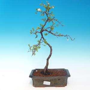 Venkovní bonsai - Prunus spinosa - trnka
