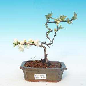 Venkovní bonsai - Chaenomeles superba jet trail -Kdoulovec bílý