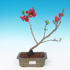 Venkovní bonsai - Chaneomeles japonica - Kdoulovec japonský červený