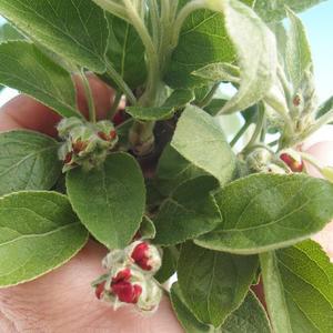 Venkovní bonsai - Malus halliana -  Maloplodá jabloň
