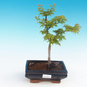 Venkovní bonsai - Acer palmatum SHISHIGASHIRA- Javor malolistý