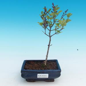 Vonkajšie bonsai - Syringa velutina Josse Orgován ružový