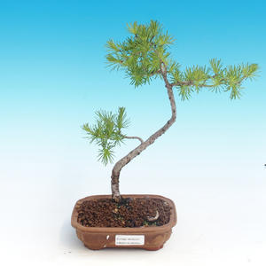 Venkovní bonsai - Larix decidua - Modřín opadavý