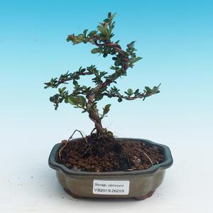 Vonkajšia bonsai-Cotoneaster horizontalis-Skalník