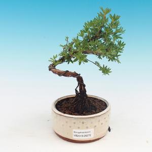 Venkovní bonsai-Mochna křovitá - Dasiphora fruticosa žlutá