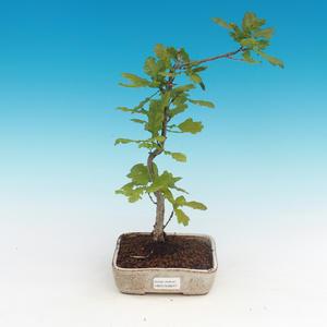 Vonkajšia bonsai-Quercus robur-Dub letný