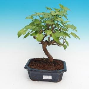 Venkovní bonsai - Morus alba - Moruše