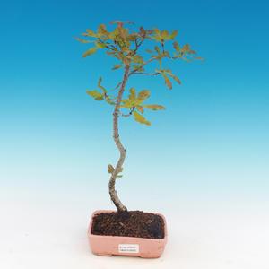 Venkovní bonsai-Quercus robur-Dub letní