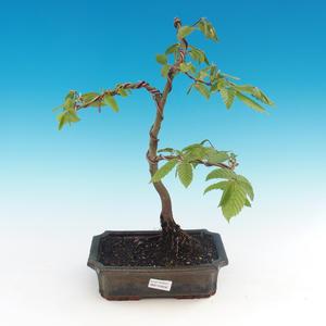 Venkovní bonsai -Carpinus CARPINOIDES - Habr korejský
