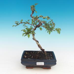 Vonkajšie bonsai - Hloh jednosemený