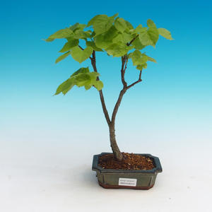 Vonkajšie bonsai - Lipa srdcovitá