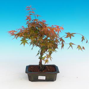 Vonkajšie bonsai - Acer palmatum Beni Tsucasa - Javor dlaňolistý