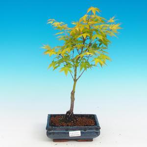 Venkovní bonsai - Acer palmatum Aureum - Javor dlanitolistý zlatý