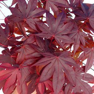 Venkovní bonsai - Acer palm. Atropurpureum-Javor dlanitolistý červený