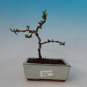 Vonkajšie bonsai - Dulovec japonský