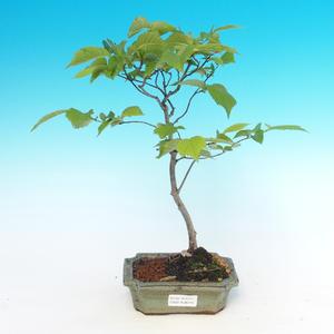 Venkovní bonsai  - Ulmus Glabra - Jilm