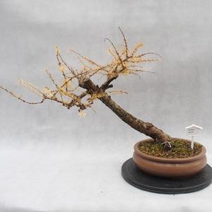 Vonkajší bonsai -Modřín opadavý - Larix decidua