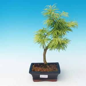 Vonkajšie bonsai - Pseudolarix amabilis - Pamodřín