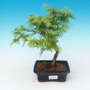 Venkovní bonsai - Pseudolarix amabilis - Pamodřín