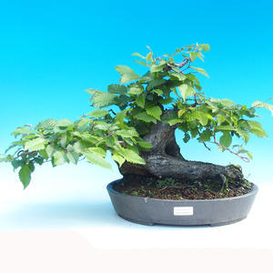 Venkovní bonsai - Habr obecný