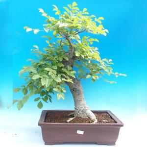 Venkovní bonsai - Fraxinus - Jasan Horský