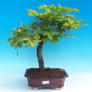 Venkovní bonsai - Fagus sylvatica - Buk lesní