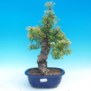 Venkovní bonsai - Hloh jednosemený