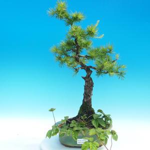 Vonkajšie bonsai - Larix decidua - Smrekovec opadavý