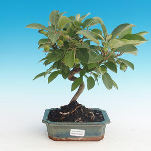 Vonkajšie bonsai - Malus halliana - Maloplodé jabloň