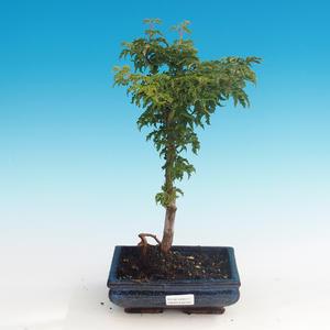 Vonkajšie bonsai - Acer palmatum SHISHIGASHIRA- Javor malolistá