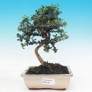 Venkovní bonsai -Japonská meruňka - Prunus Mume