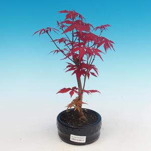 Vonkajšie bonsai - Acer palm. Atropurpureum-Javor dlaňolistý červený