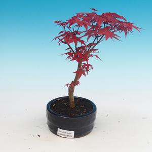 Vonkajšie bonsai - Javor palmatum DESHOJO - Javor dlaňolistý